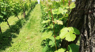 Vinograd 32000 m2 – Slatina